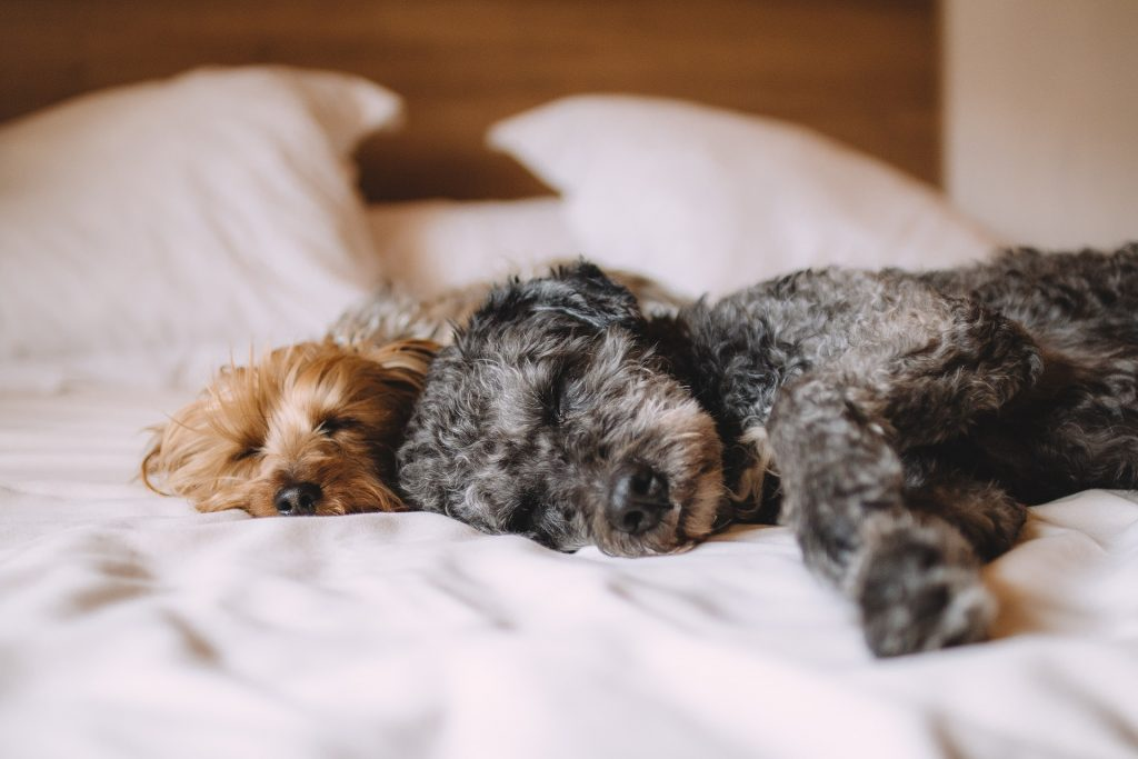 two terriers sleeping on bed