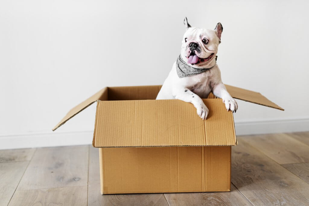 french bulldog in cardboard box